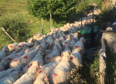 C'est la Transhumance, les troupeaux sont passés devant le Refuge !